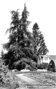 The Cedar of Lebanon that stood over Burbank's grave
